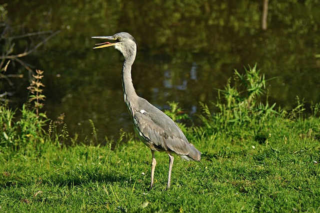 Bird, Heron, Blue Heron, Beak, Long, Animal, Fauna
