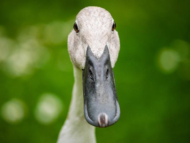 Duck, Bird, Bill, Poultry, Water Bird, Beak, Close-up