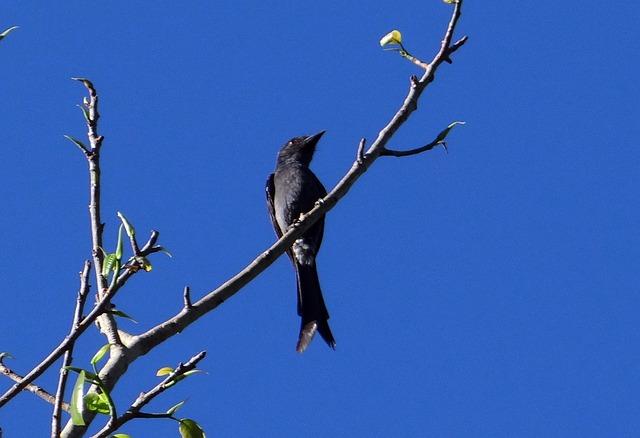 Ashy Drongo, Bird, Fly, Wings, Feather, Wildlife, Beak