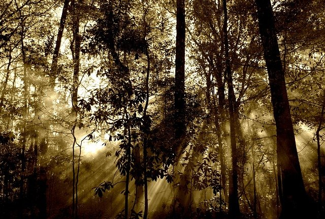 Forest, Rays, Fog, Nature, Trees, Beam, Sunrays