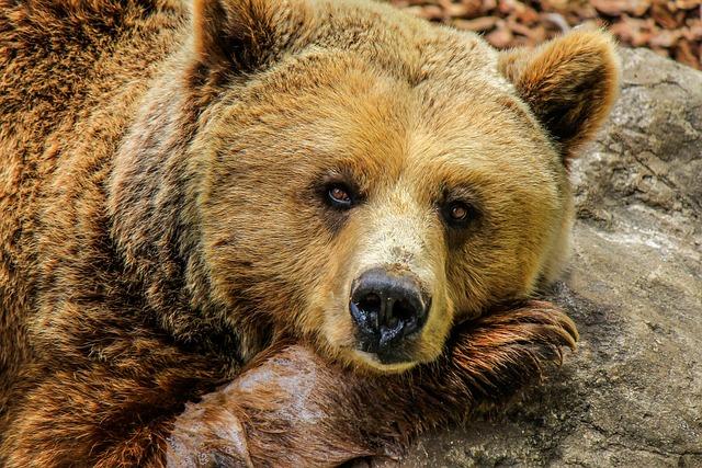 Bear, Grizzly Bear, Brown Bear, Zoo, Captivity, Animal