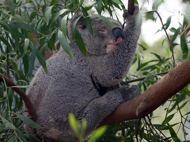 Australia, Bear, Koala, Mammal, Animal, Eucalyptus