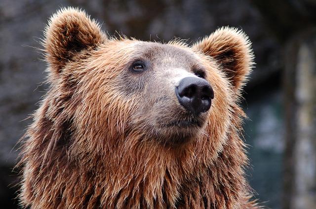 Bear, Head, Brown, Brown Bear, Grizzly Bear, Bear Head