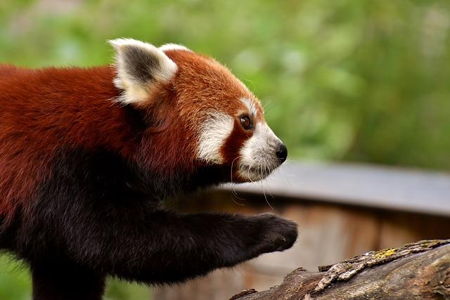 Panda, Red Panda, Bear Cat, Ailurus Fulgens, Predator