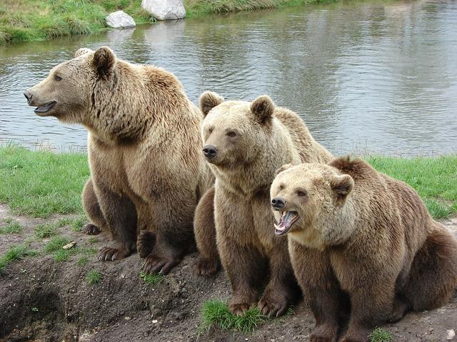Bear, Nature Park, Denmark, Brown Bear, Zoo