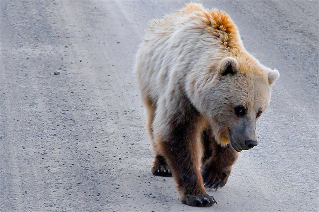 Grizzly Bear, Alaska, Grizzly, Bear, Brown, Wildlife