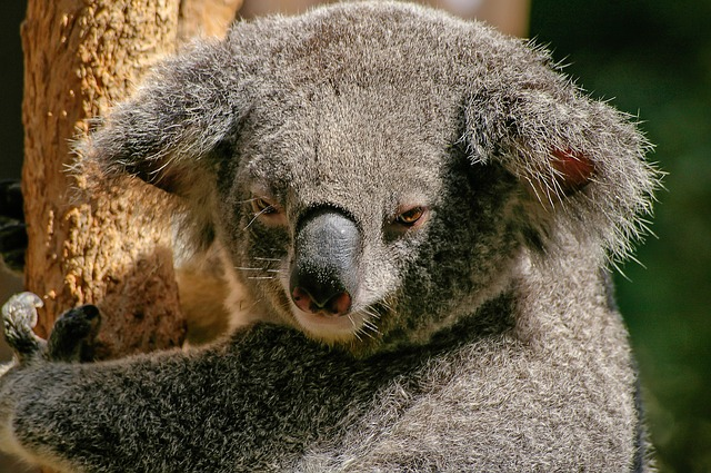 Koala, Bear, Marsupial, Grey, Furry, Icon, Australia