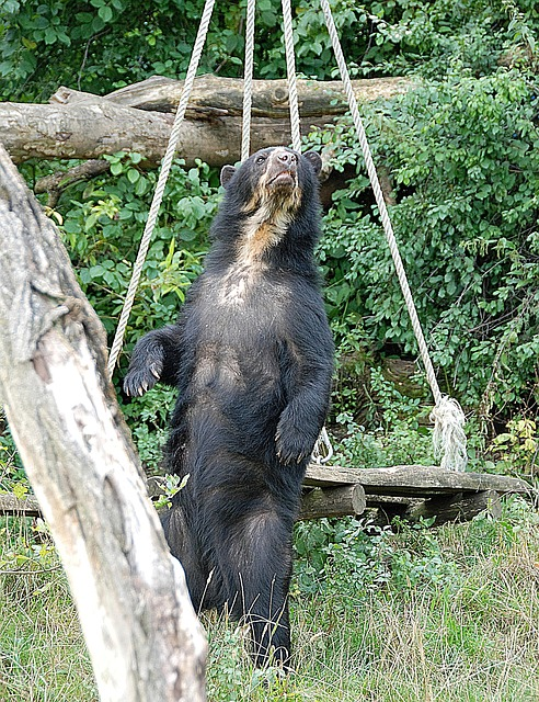 Bear, Spectacled Bear, Zoo, Enclosure