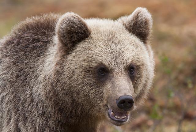 Bear, Puppy, Small, Animal, The Muzzle, Turkish