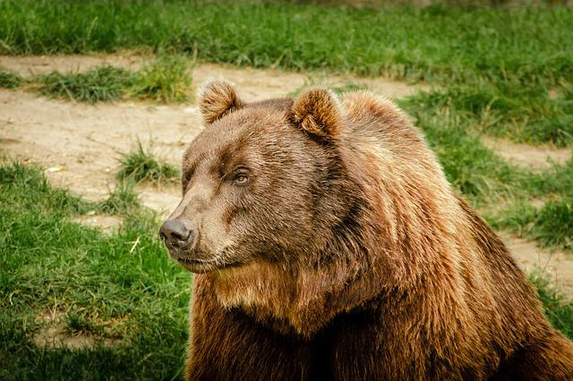 Bear, Brown Bear, Ursus Arctos, Animal, Predator