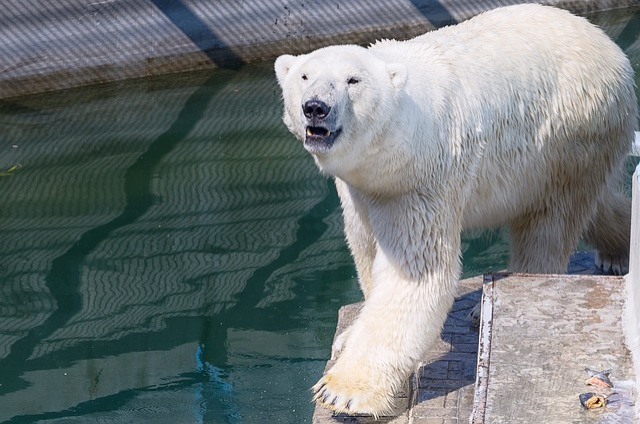 White Bear, Zoo, Animals, Bear, Bears, Polar Bear