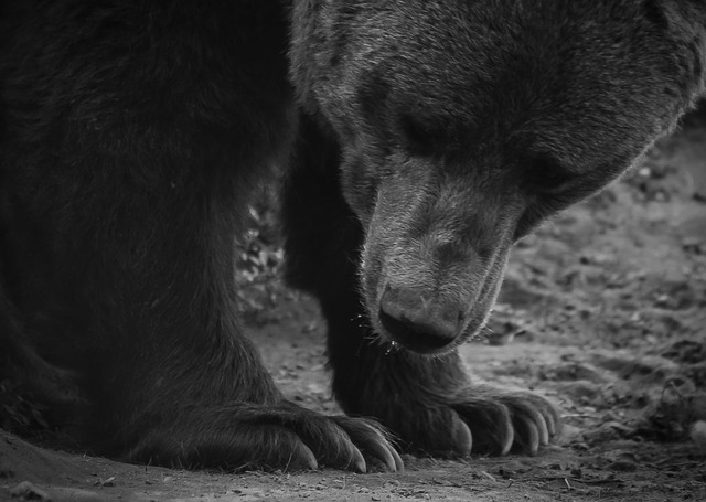Bear, Paw, Beast, Wild, Nature, állatportré, Animals