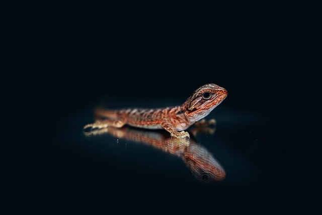 Bearded Agama, Agama, Bearded Dragon, Lizard, Reptile