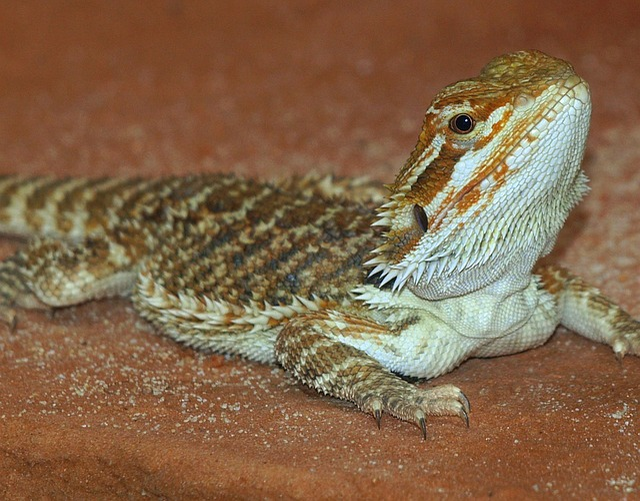 Bearded Dragon, Reptile, Pogona Vitticeps