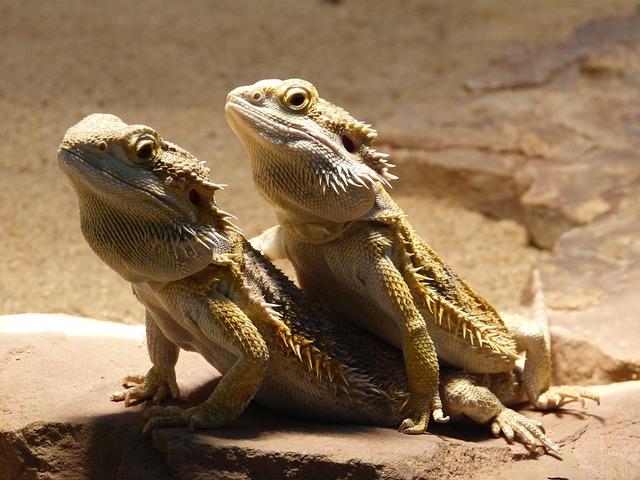 Reptile, Bearded Dragon, Pogona Vitticeps, Animal