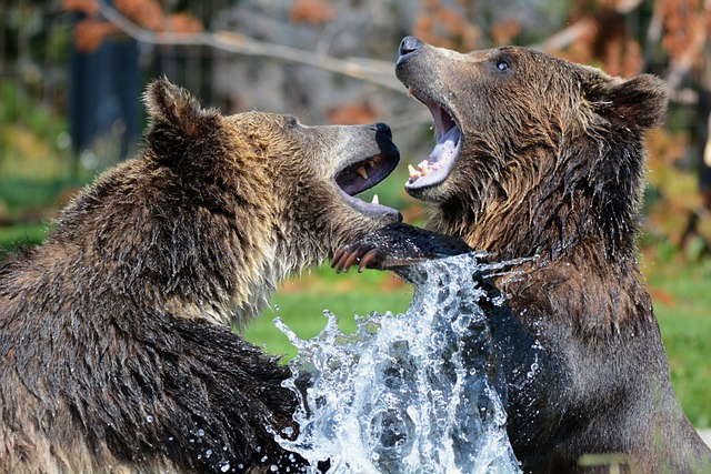 Grizzlies, Bears, Sparring, Playing, Grizzly Bears