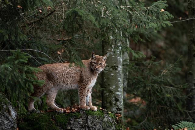 Bobcat, Forest, Nature, Predator, Beast