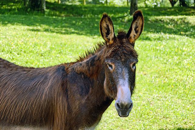 Donkey, Mule, Animal, Beast Of Burden, Rural, Nature