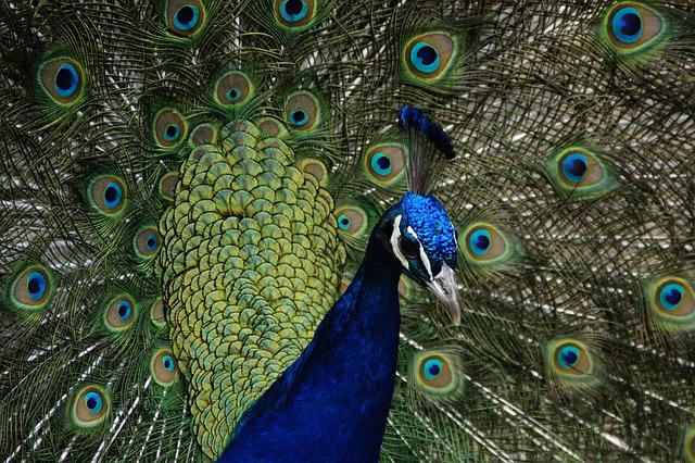Peacock, Beat Rad, Peacock Wheel, Bird, Feather, Balz