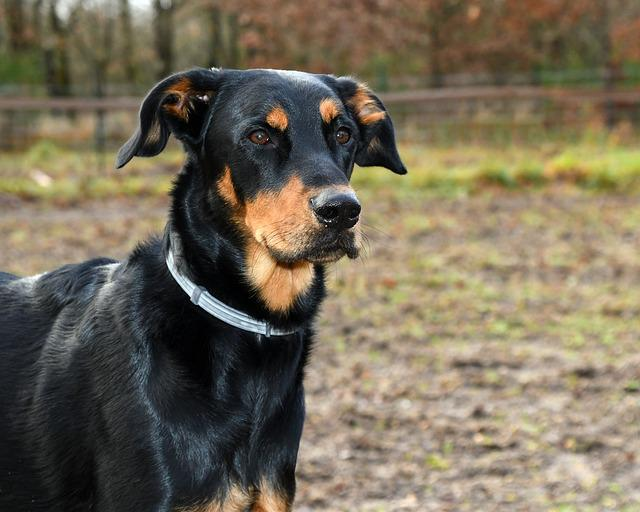 Dog, Beauceron, Mammal, Canine, Pet, Portrait