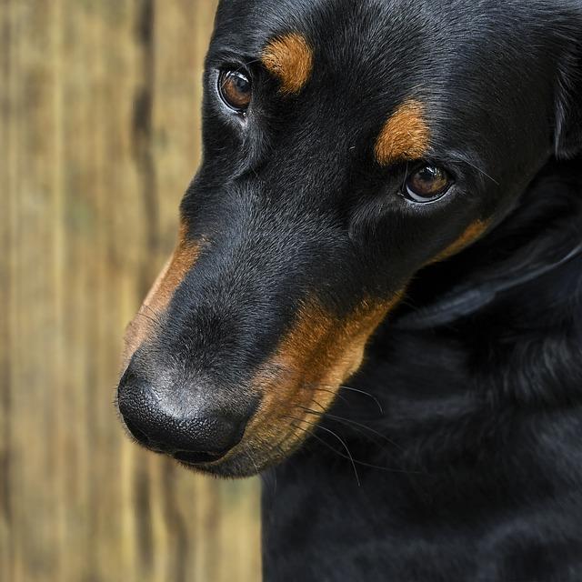 Dog, Beauceron, Look, Close Up, Eyes
