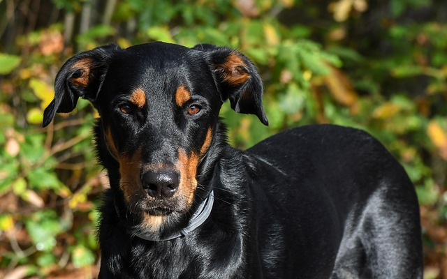 Dog, Beauceron, Animal, Green