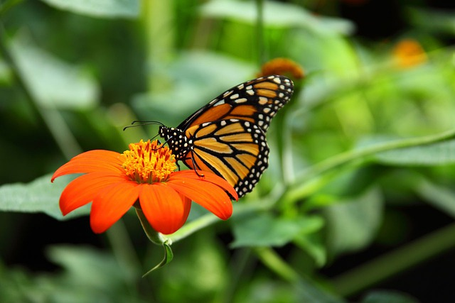 Animal, Beautiful, Monarch, Butterfly, Close-up