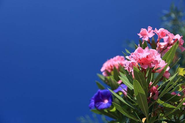 Oleander, Background, Beautiful, Bloom, Blossom, Blue