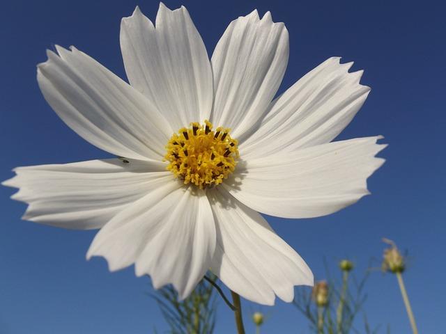Flower, Cosmos, Spring, Nature, Garden, Beautiful