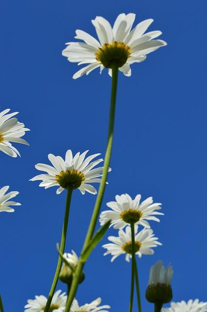 Daisy, Sky, Flower, White, Summer, Chamomile, Beautiful