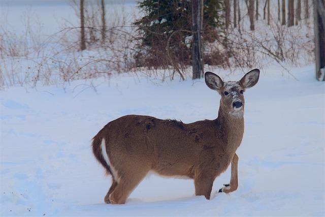 Deer, Snow, Beautiful, Animal, Winter, White, Mammal