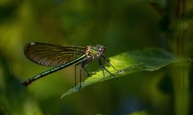 Beautiful Demoiselle, Calopteryx Virgo, Darter, River