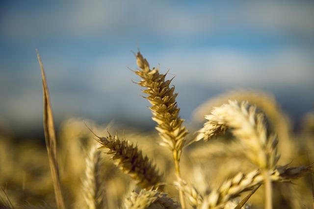 Wheat, Gold Yellow, Beautiful