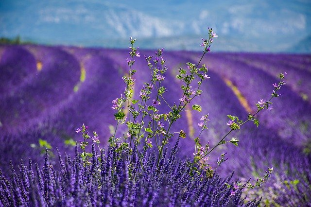 Moustiers-sainte-marie, Lavender, Beautiful Landscape