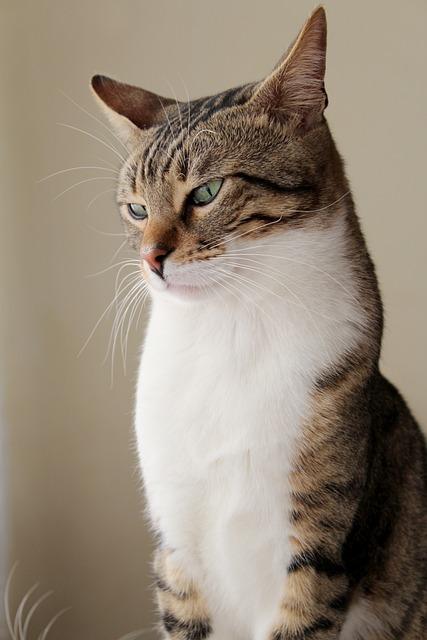Cat, Pat, Beautiful, Portrait, Face, Animal
