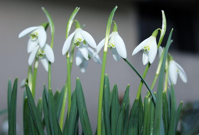Snowdrops, Early Spring, White, Beautiful, Figure