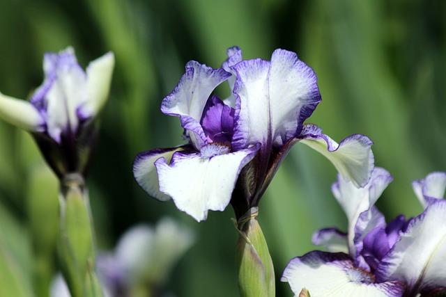 Iris, Flower, Spring Flowers, Beautiful, Nature