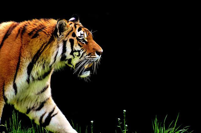 Tiger, Predator, Fur, Beautiful, Dangerous, Big Cat