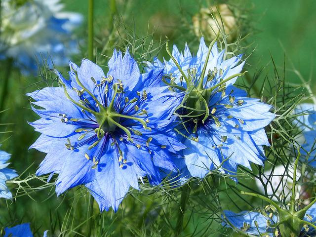 Nigella, Blue Flower, Blue Star, Beauty, Garden