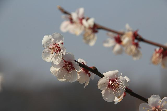Plum Flower, Flowers, Spring, It Is One Of The, Beauty