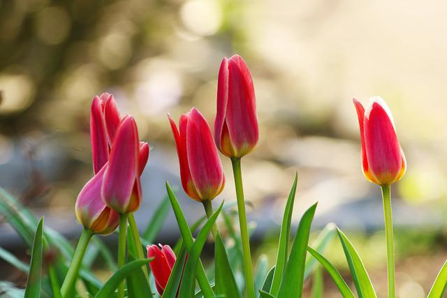 Tulips, Bed, Garden, Flowers, Flower Bulbs