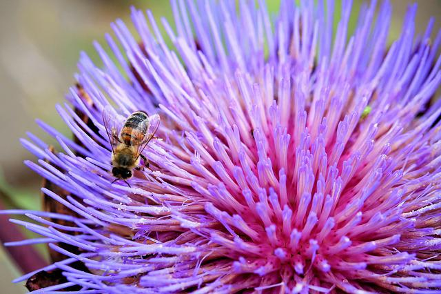 Artichokenblüte, Blossom, Bloom, Insect, Bee, Purple