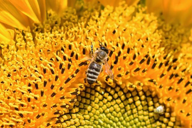 Sunflower, Bee, Honey Bee, Flower, Blossom, Bloom