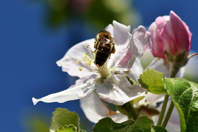 Apple Blossom, Blossom, Bloom, Bee, Sprinkle, Insect