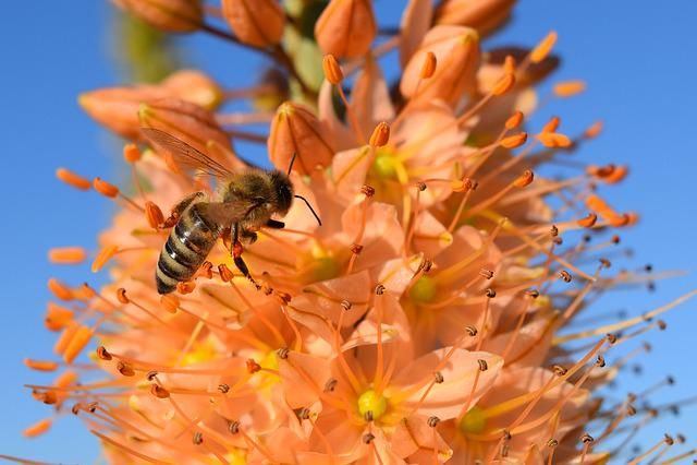 Eremurus, Steppe Candle, Desert Wandering, Bee, Blossom