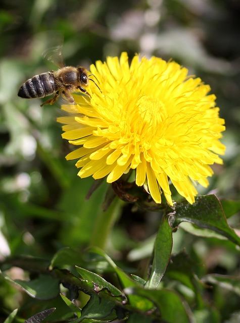 Dandelion, Bee, Flight, Yellow, Pollen, Insecta