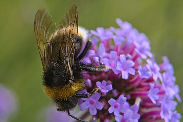 Bee, Insect, Summer, Flowers, Nectar, Honey Bee, Macro