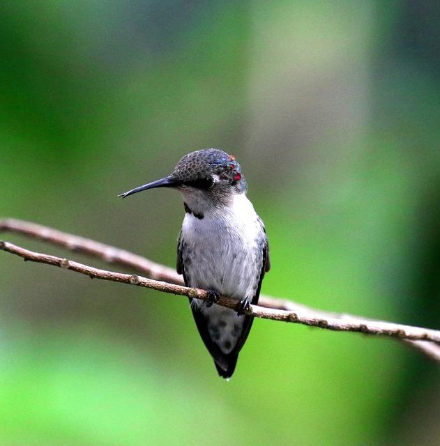 Cuba, Hummingbird, Bee Hummingbird, Bird, Green
