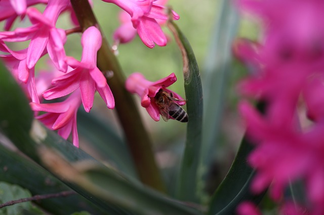 Hyacinth, Bee, Pollination, Pink, Flower, Insecta