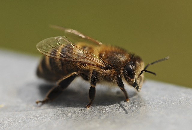 Bee, Close, Insect